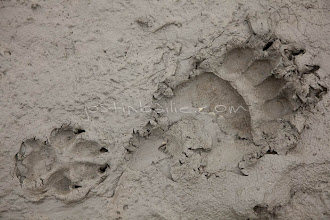 """Photo: Grizzly bear tracks in mud as seen while on a raft trip down the Tashenshini River. The """"Tat"""" flows out of Yukon, CA, through British Columbia and empties into Glacier Bay National Park in Alaska, US."""