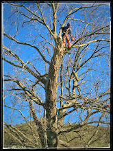 Photo: Pruning the old oak tree