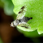 Tephritid fly