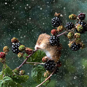 Harvest Mouse in Snow flurry  by Richard Adams - Animals Other Mammals ( Christmas, card, Santa, Santa Claus, holiday, holidays, season, Advent,  )