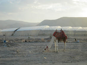 Photo: Camel in front of crop shade structures