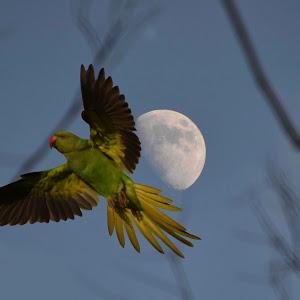 Santanu Mondal _Messenger of Moon_4.jpg