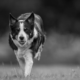 Nellie by Ronnie Bergström - Animals - Dogs Running ( sweden, b&w, dogs, black and white, grass, landscape, jump, eyes, nellie, border collie, nature, old dog, dog )