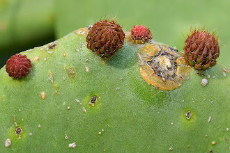 Photo: Opuntia ficus-indica, fico d'India, prickly pear