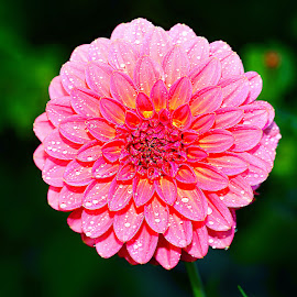 Dalhia n000275 by Gérard CHATENET - Flowers Single Flower