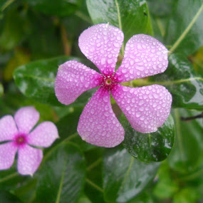Dewdrops on flowers! by Sandeep Suman - Nature Up Close Flowers - 2011-2013 ( plant, dew, greenery, dewdrops, pink, wet, flowers, flower )