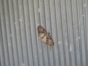 Photo: Priorslee Lake I always struggle with pug moth identification: this appears to be a Brindled Pug. The underwing is rather white for the species but I think this is the effect of the flash I used to make sure the image was as sharp as possible. (Ed Wilson)