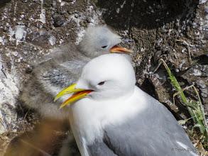 Photo: Kittiwake with Chick, Crawton