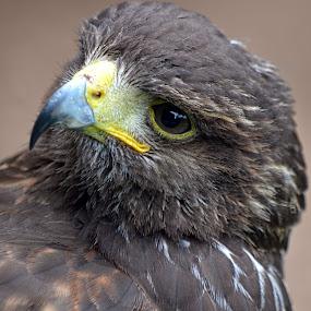 Harris Hawk by Becky Wheller - Animals Birds ( bird, bird of prey, harris hawk, portrait, hawk )