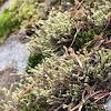 Hedwigia stellata