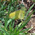 Mating Orange Sulfur Butterflies