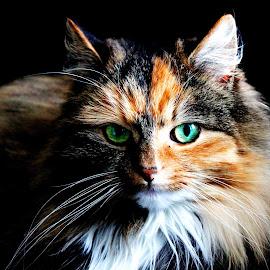 Cat by Elisabeth Sjåvik Monsen - Animals - Cats Portraits ( cat, cat face, pet, eyes, animal,  )