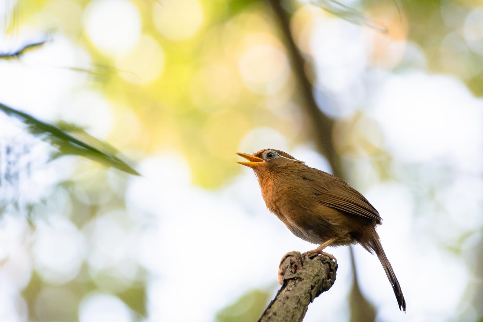 Photo: 「目覚めの朝に」 / Wake up morning.  森の朝に響き渡る あたたかな光を浴びて 今日の始まりを歌う 元気に元気に 始められるように  Hwamei. (ガビチョウ)  Nikon D500 SIGMA 150-600mm F5-6.3 DG OS HSM Contemporary  #birdphotography #birds #kawaii #ことり #小鳥 #nikon #sigma  ( http://takafumiooshio.com/archives/2790 )