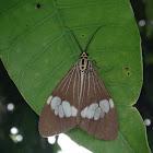 brown nyctemera moth