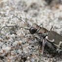 Bronzed Tiger Beetle