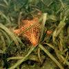 Estrella cojín (Red cushion sea star)