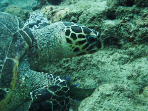 Photo: Sodwana Bay - Diving on 2 mile reef - Hawkbill Turthle / Sodwana Bay - Potápění na 2 mílích - želva