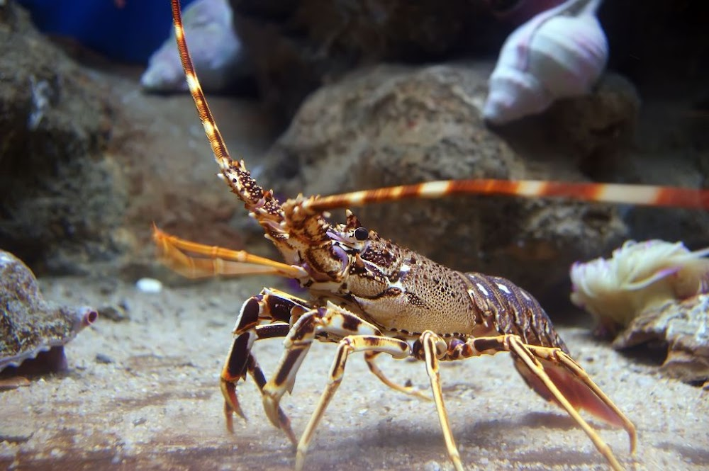 West coast rock lobster season extended as coronavirus knocks exports to China - SowetanLIVE