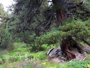 Photo: Arvenwald südlich von S-charl Bäume bis 700 Jahre alt