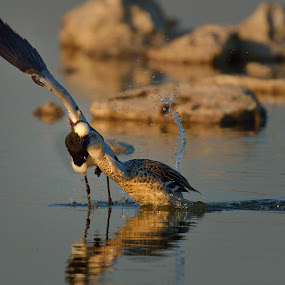 Plover Teal Confrontation by Jan Jacobs - Animals Birds