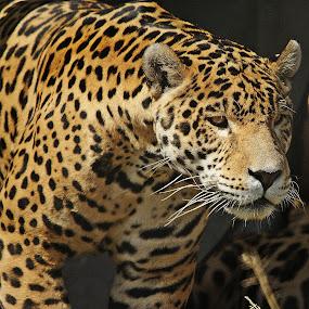 by Charmane Baleiza - Animals Other Mammals