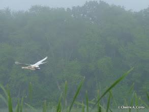 Photo: Swan at dawn