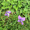 Wild Violet or Common Blue Violet