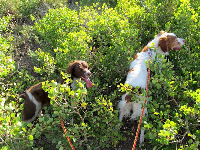 Boulder and Torrey bushwhacking through new aspen growth