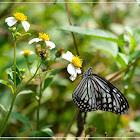 Parantic aglea 絹斑蝶