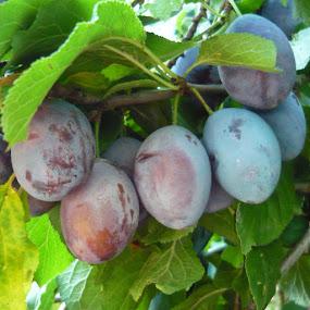 Plums by Helena Moravusova - Nature Up Close Gardens & Produce ( plums, garden )