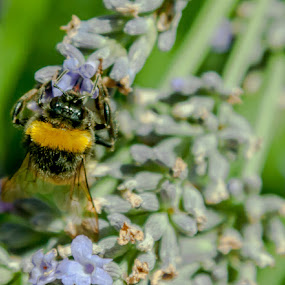 There Bee Pollen in here! by Lizzy MacGregor Crongeyer - Animals Insects & Spiders ( pollen, bumble bee, bee, summer, insect, flower, honey )
