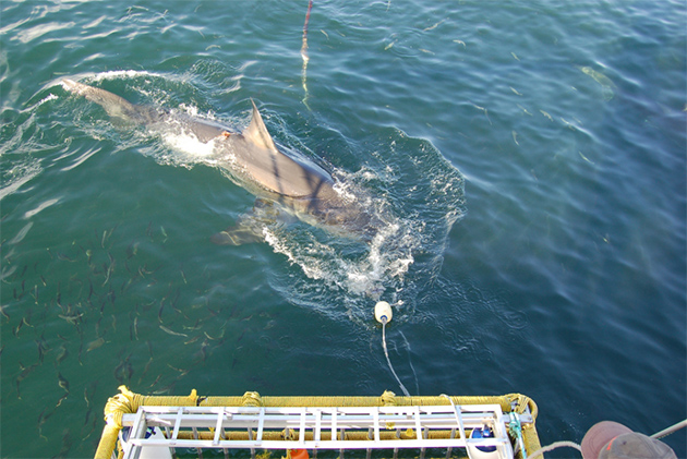 White Shark Cage Diving, Gansbaai. File picture