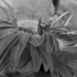 by Denise O'Hern - Black & White Flowers & Plants