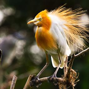 Pemikat by Hendrik Cuaca - Animals Birds