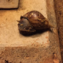Giant (East) African snail