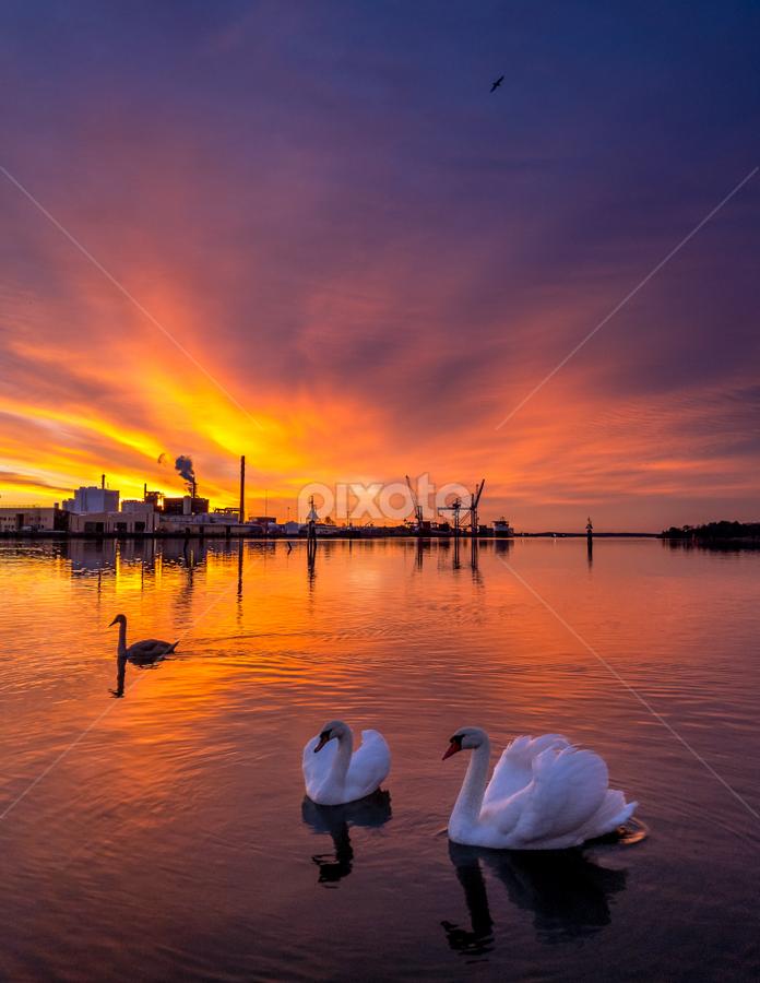 Swan sunrise by Hans Jørgen Lindeløff - Landscapes Sunsets & Sunrises ( water, orange, swans, yellow, iphone, landscape, elv, øra, 366, fredrikstad, skyer, glomma, sunrise, soloppgang, river,  )