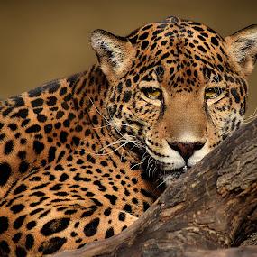 Jaguar Tree by Shawn Thomas - Animals Lions, Tigers & Big Cats (  )