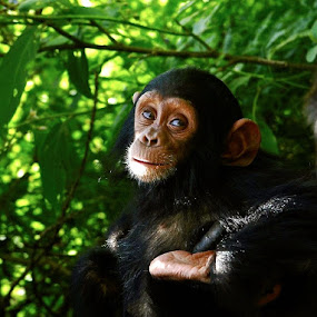 baby chimp by Janet Rose - Novices Only Wildlife (  )