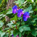 oceanblue morning glory / blue dawn flower / water convolvulus / kangkung / moon flower / koali awa