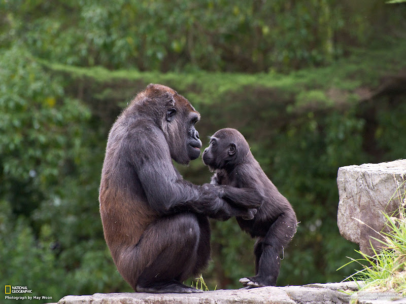 Photo: Monifa is a western lowland gorilla that gave up her son, Hasani, to the surrogate mom named Bawang. It was nice to see him bond and play with is biological mother. I do wonder if Monifa really knows that it was her son, since they all live in the same exhibit, but Bawang will always be the dominate female gorilla. Photo and caption by May Woon