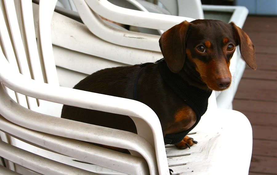 Ready to Go by Elizabeth Eaton - Animals - Dogs Portraits (  )