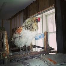 Photo: El gallo vive en la casa del propietario de Contacts Nature hasta recuperarse completamente. #DescubriendoQuebec