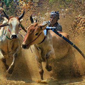Mud Bathing by Achmad Tibyani - Sports & Fitness Other Sports ( bull race, mud, tanah datar, indonesia, pacu jawi, west sumatera )