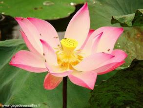 Photo: Fleur de Lotus au Vietnam