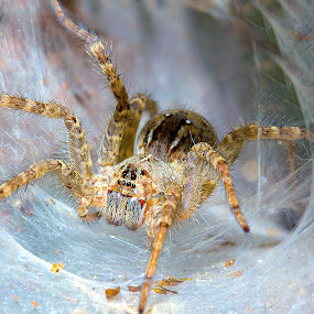 Funnel spider by Ranjani Bharath - Animals Insects & Spiders ( colour, sipder, white, web, insect, funnel spider )