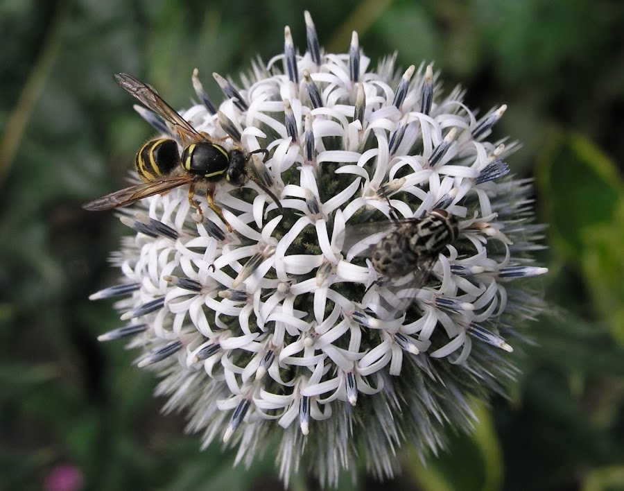 Insects on Echinops by Vicki Clemerson - Flowers Single Flower ( white flower, insects on white flower, white echinops, echinops, flower with insects, flower,  )