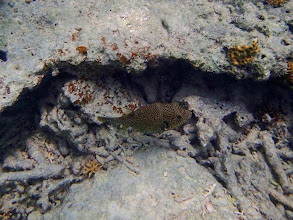 Photo: Arothron mappa (Map Puffer), Entatula Island Beach Club reef, Palawan, Philippines.