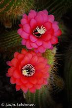 Photo: It's a beautiful Monday morning.. already been out shooting this morning ;)!!  Saija Lehtonen Photography http://saija-lehtonen.artistwebsites.com/  #Flowers  #Floral  #Cactus  #Southwest  #Arizona  #CactusFlowers  #Nature  #Photography