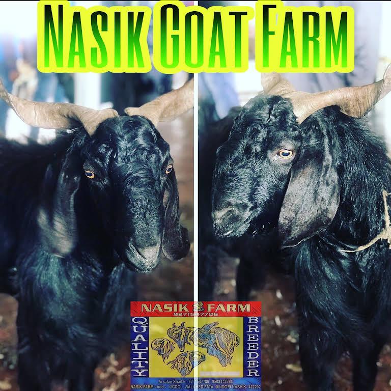 Nashik Goat Farm Arsalan shaikh - Livestock GOAT trading