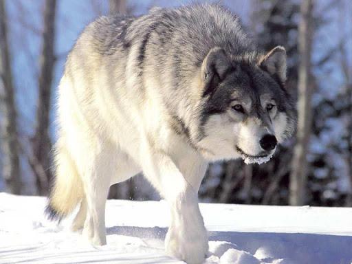 늑대 퍼즐